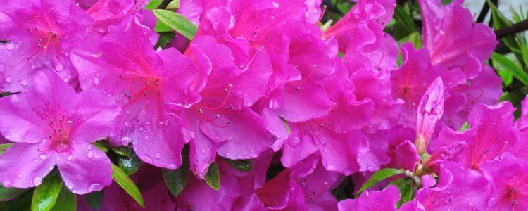 Azalea Flowers Landscaping Baton Rouge