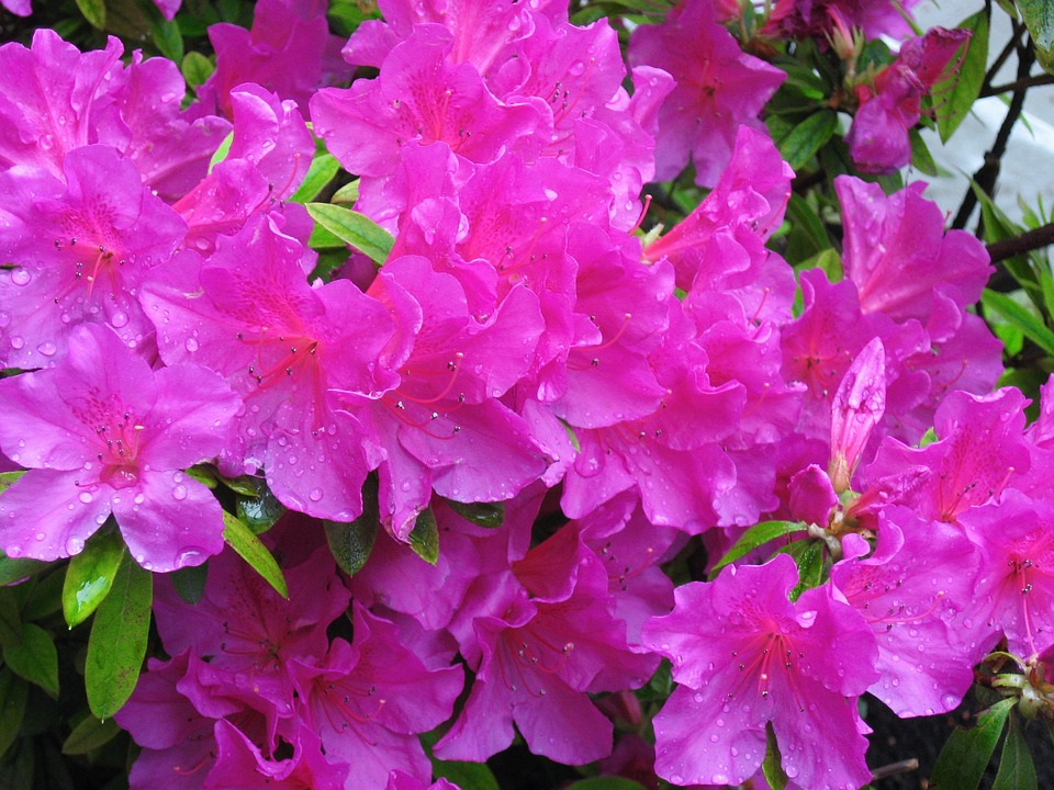 Azaleas Flowers Landscaping Baton Rouge